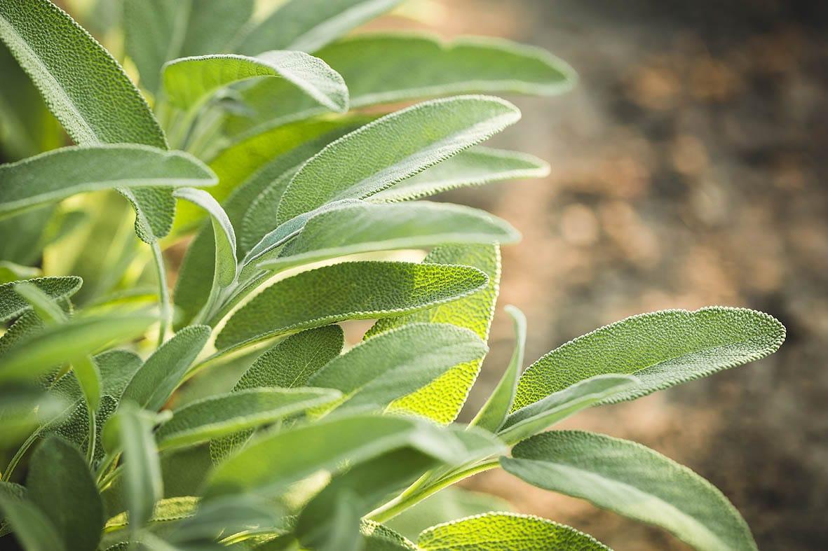 Salbei-Tee von mediterraneansoil.com in Bio-Qualität